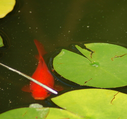 Fish Pond Supplies on Maintaining A Pond With Fish Is Very Important You Must